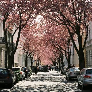 """Deutschland Platz 1: Lisa Wlascheck -   Das Bild """"Deutschland's Sakura"""" zeigt die Heerstraße in Bonn in seiner vollen Blütenpracht. Die Strasse ist weltweit als Deutschland's Gegenspieler der japanischen Kirschblütenzeit """"Sakura"""" bekannt. Um die natürlichen Farben, die das Licht der Mittagssonne zusammen mit den Kirschbäumen in ihrer vollen Blütenpracht kreiert, zu bewahren, ist das Bild mit einer analogen Kamera aufgenommen."""